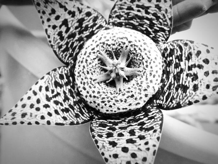 Cactus Flowers Cactus Flower Black & White Macro Macro Nature Star Flower