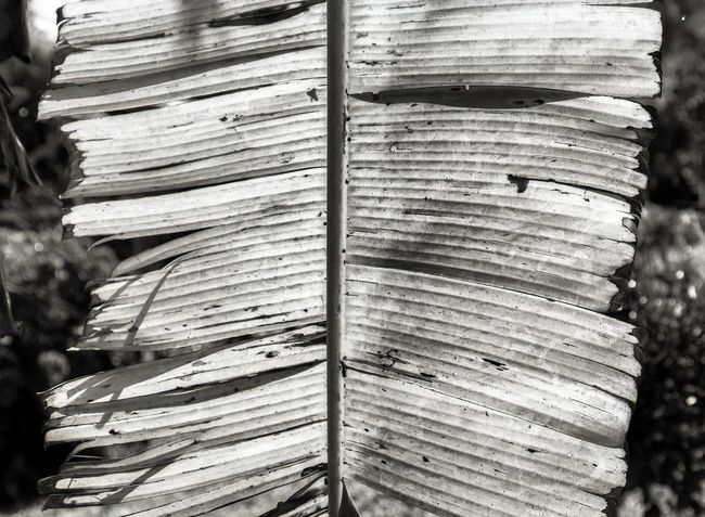 Black And White Filmisnotdead Film Photography Analogue Photography Tree Full Frame Textured  Backgrounds Pattern Close-up Leaf Vein Plant Life Leaves Natural Pattern