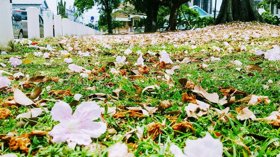 Flower Nature Beauty In Nature Sunlight Day No People Growth Fragility Blooming Flower Head Tree Plant Pink Poui Flower Fallen Poui Flowers Fallen Leaves Green Grass Dried Poui Flowers Outdoors Freshness EyeEmNewHere