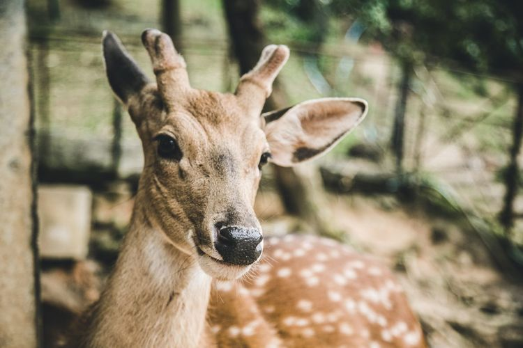 EyeEm Selects Animal Themes Focus On Foreground Deer Mammal Animals In The Wild One Animal Day No People Outdoors Animal Wildlife Close-up Portrait Looking At Camera Nature Deer Pet Portraits