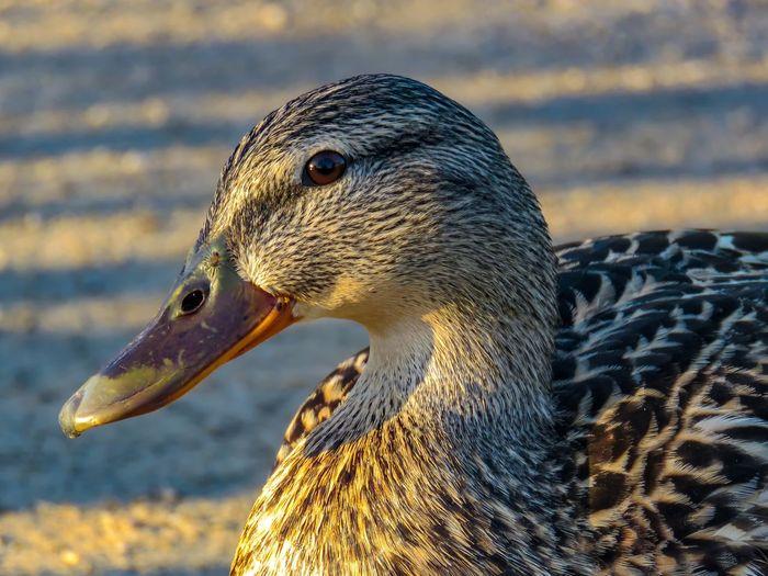 female mallard duck Mississauga Ontario Canada Lake Aquitaine Mallard Mallard Duck Female Duck Water Fowl Duck Bird Portrait Sea Closing Close-up Beak