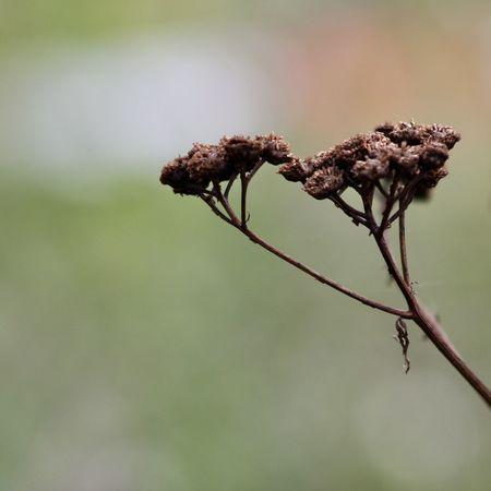 dried brown tansy flower on light green background Autumn Farm Green Life Light The Week On EyeEm Abstract Backgrounds Backgrounds Beauty In Nature Close-up Dried Dried Plant Fall Fine Art Flora Fragility Growth Minimalism Nature Outdoors Plant Simplicity Tansy Wallpaper