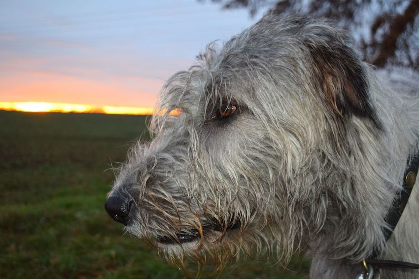 Domestic Animals Animal Themes Animal Head  Pets Close-up Dog Outdoors Sky The Places ı've Been Today Showcase December It Is Cold Outside December 2016 How's The Weather Today Autumn 2016 Dog Of My Life Portrait Dogwalk Dogs Of Winter Dogs Of EyeEm Dog Of The Day Dogslife Irish Wolfhound Bokeh Cearnaigh