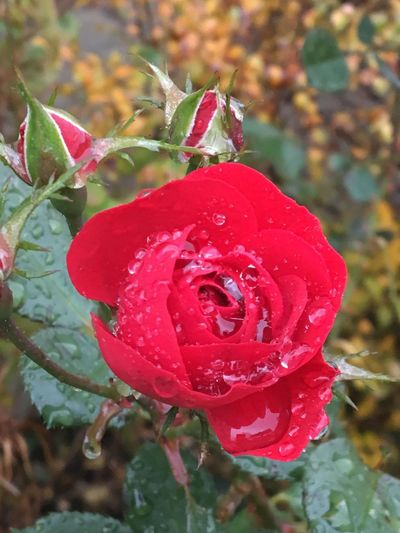 Nasse rote Rose Not Everything You Want Is What You Need... Not Everything That Shines Is Gold Not Everything Is Nice Relationship Relationship Difficulties Love Raindrops Water Plant Red Beauty In Nature Growth Flower Close-up Rosé Fragility Vulnerability  Rose - Flower Freshness Flowering Plant Flower Head Wet