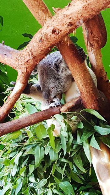 Give me strength Koala 🐨 Koala In Tree Koala Bear Koala Bears Koala On A Tree Sleeping Koala Naptime Givemestrength EyeEmNewHere