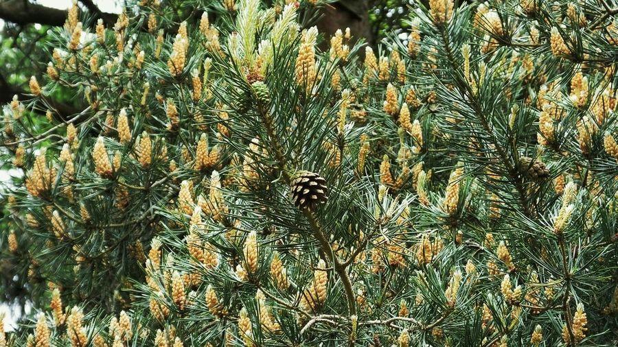 Pinecone on tree Tree Tree Pinecone Countryside