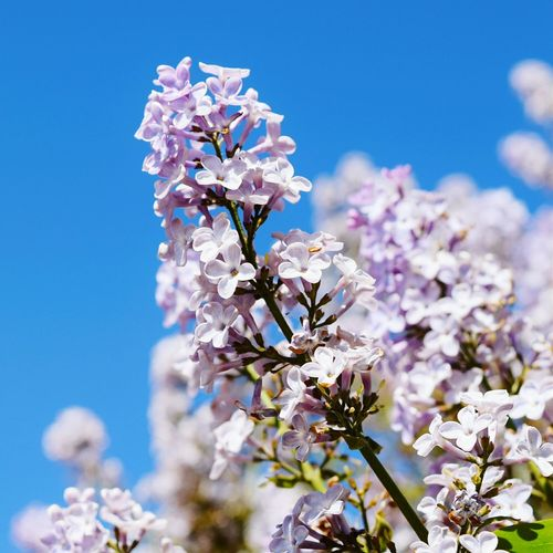 Close-Up Of Lilac Blooming Outdoors