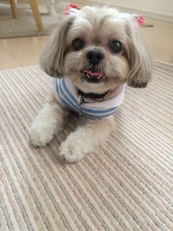 Shitzu ShiTzuForever🐶 DogLove Cute♡ この笑顔の奴隷で〜す(^ν^)