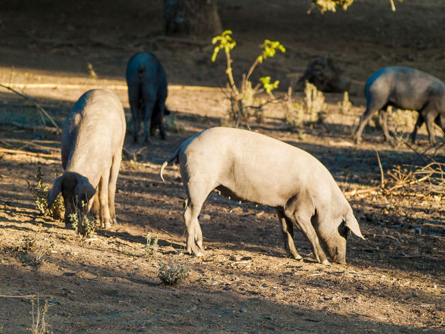 Animals In The Wild Farm Farm Life Farm Animals Grazing Ibérico Livestock Pasture Pigs Pork Animal Animal Themes Animals In The Wild Cattle Dehesa Iberian Pigs Iberico Pork Mammal Nature Pasture, Paddock, Grassland, Pastureland Pig Pig Farm Porks Rural Scene