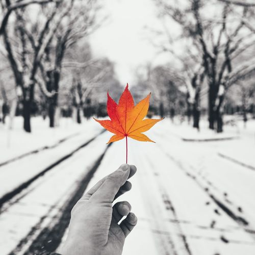 Close-up of person holding maple leaf
