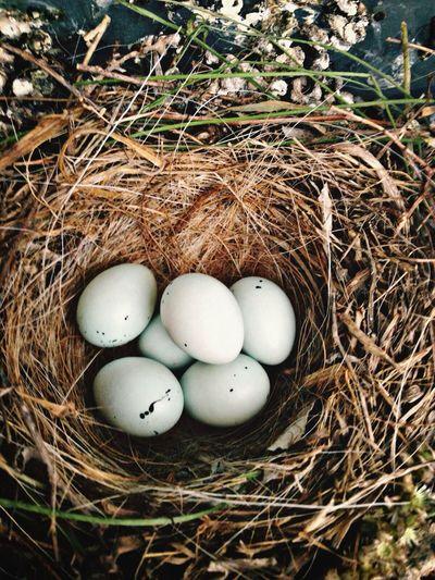 Birds Bird Eggs Nature Nature_collection