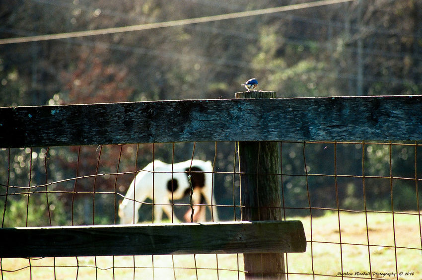 """Bluebird Stallion"" I was happy I was able to get the horse and bluebird together. Farm Life Horse Photography  Bird Photography Horsefollowers Bluebird In Winter Film Photography Analogue Photography Film Is Not Dead Film Camera Minolta Maxxum Minolta Lenses Minolta 7000 Minolta Collectors"