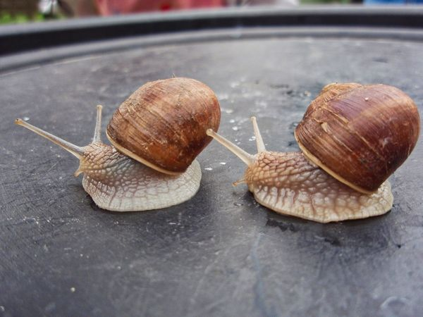 Synchronizing swimming две Коричневый серый улитки Edible Snail Edible  Gray Animal Wildlife Mollusk Animal Animal Themes Snail Animals In The Wild No People Animal Antenna Brown Day