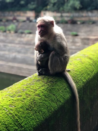 Monkey with infant sitting on mossy retaining wall
