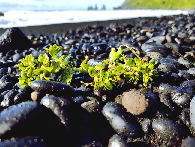 At The Beach Black Stone Focus On Foreground Beach Black Sand Beach Black Sand Beach Iceland Rock - Object Sea Ocean Polar Climate EyeEm Selects Close-up No People Day Outdoors Nature Leaf Plant