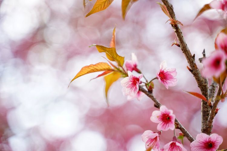 No People No Person Day Flower Head Flower Tree Branch Defocused Springtime Pink Color Pastel Colored Softness Blossom Cherry Blossom Blooming Pollen In Bloom