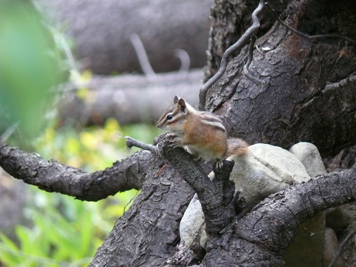 Nature_collection Canada Nature Animals Squarrel Chipmunk Animal Closeup Nature's Diversities The Essence Of Summer