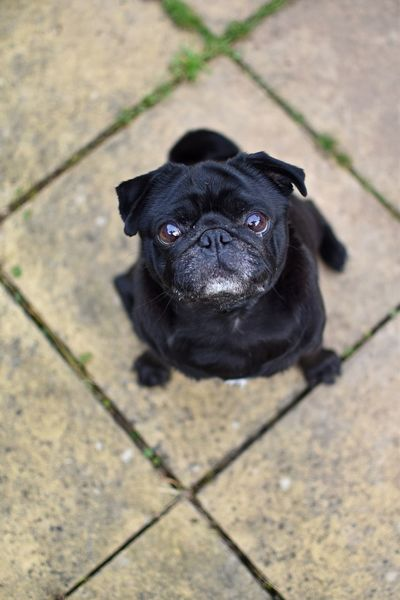 From My Point Of View View From Above Pug Life  Cute Pets Pet Photography  Dogs Pug Deceptively Simple Leading Lines