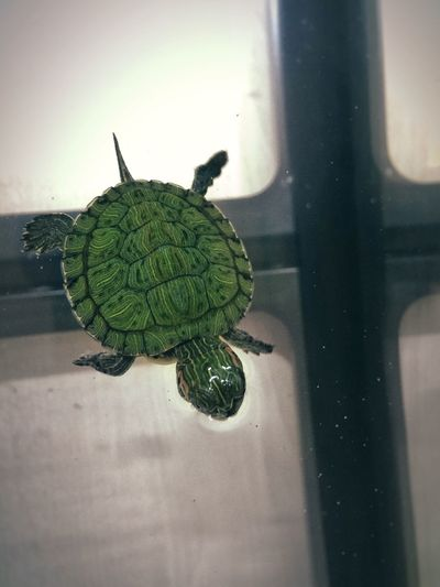 Turtle Animals Reptiles Red-eared Slider Pets Cute Pets Animal Small And Swift EyeEm Nature Lover Turtles