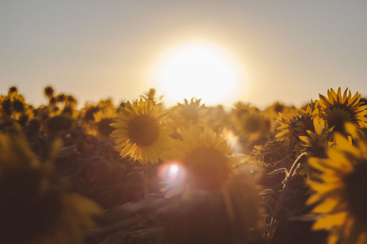 Outdoors Outdoor Tranquility Tranquil Scene Tranquil Plant Flower Beauty In Nature Flowering Plant Sky Growth Freshness Sun Sunset Nature Yellow Fragility Sunlight Vulnerability  Field Close-up No People Flower Head Land Selective Focus Lens Flare Outdoors Bright Sunflower Autumn Mood