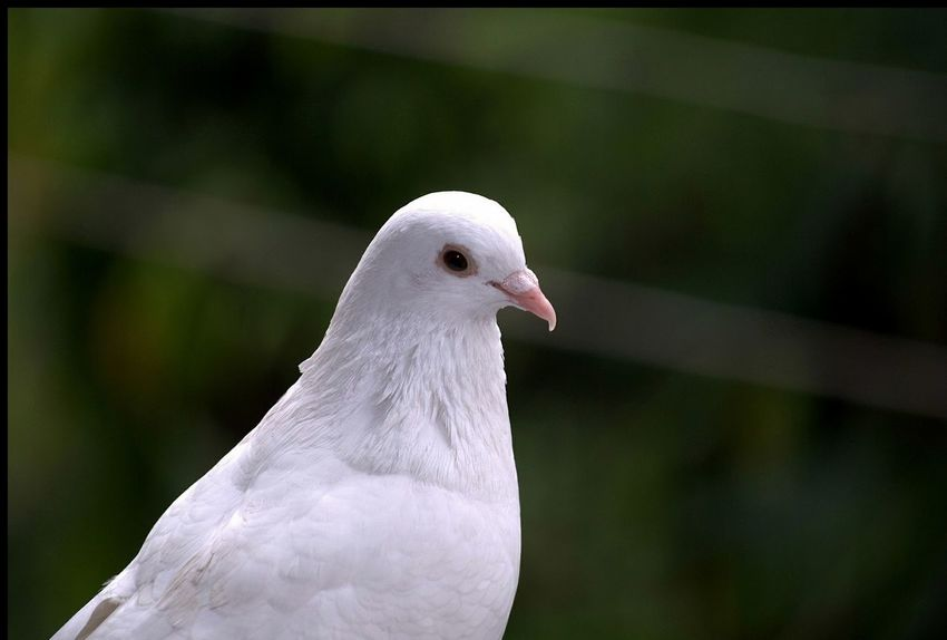 Peace Doves Dove Pigeons NikonD60 Pigeon White Bird White Color Beak Close-up Beauty In Nature Beauty Outdoors Nature EyeEmNewHere