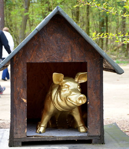 Golden Pig Gold Outdoors Close-up Beautiful Nature Only Beautiful Thing Kurios Humor Beelitz Heilstätten Schwein Pig Golden Hour Curious Gold Colored Animal Themes Schweinebraten Pigs♥ Pignose  Tierfotografie Wachhund Wildlife Funny Pics FUNNY ANIMALS Funny