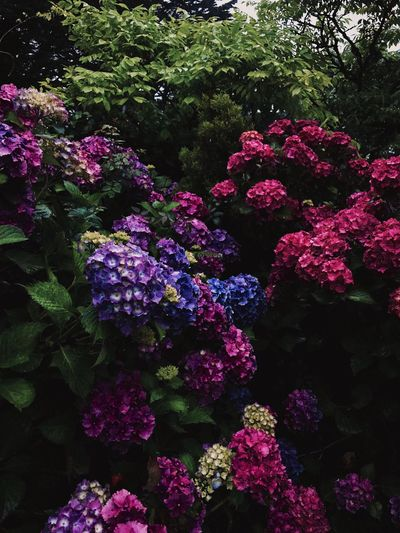 Pink and purple hydrangeas English Garden English Countryside Garden Hydrangea Purple Flower Pink Flower Growth Day Nature Outdoors No People Freshness Beauty In Nature Fragility