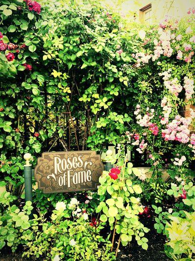 USJのプチ薔薇園❗️ Oosaka  Holiday USJ Flower