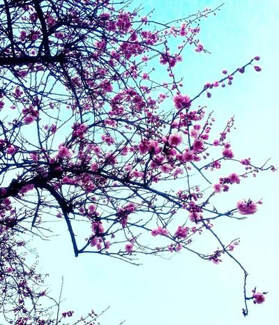 Spring Is Coming  Blossom Blue Sky Cherry Blossoms Power Of Pink Millennial Pink