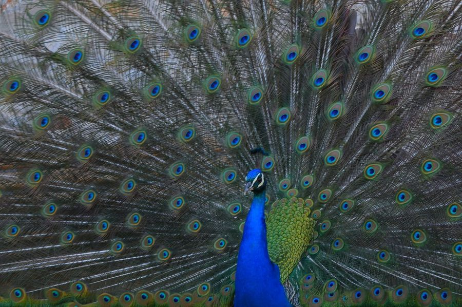 Peacock Peacock Feather Fanned Out Feather  Bird Blue Animal Themes Animal Wildlife Multi Colored One Animal Animals In The Wild Beauty In Nature Nature Close-up Showing Off No People Outdoors Ohrid Lake EyeEm Best Shots EyeEm Diversity Neighborhood Map Ohrid Macedonia Sommergefühle