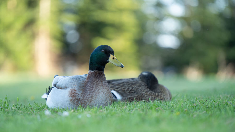 Bird Animal Themes Animals In The Wild Animal Animal Wildlife Vertebrate Group Of Animals Plant Grass Nature Green Color Day Two Animals Selective Focus No People Duck Poultry Field Land Outdoors Beak Animal Family