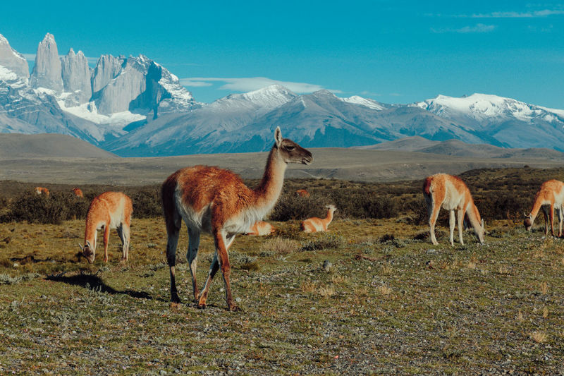 Travel Wanderlust Animal Themes Animal Wildlife Animals In The Wild Beauty In Nature Day Domestic Animals Field Grass Guanacos Landscape Llama Mammal Mountain Mountain Range Nature No People Outdoors Scenics Sky Snow Torres Del Paine Travel Destinations Wildlife