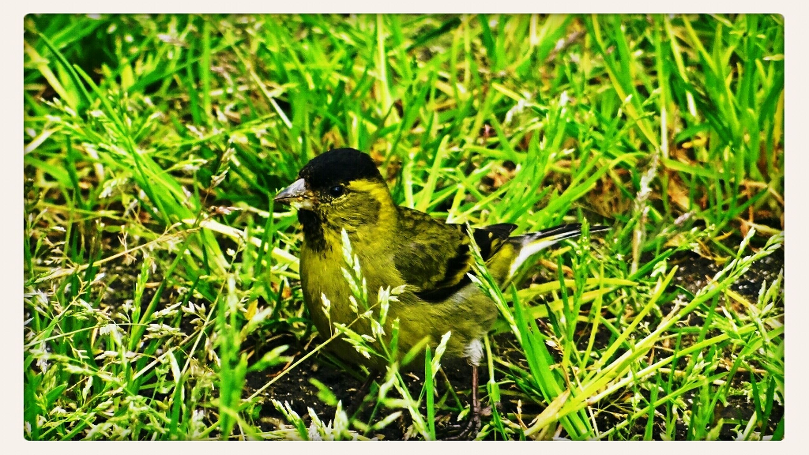 animals in the wild, bird, animal themes, grass, wildlife, one animal, green color, grassy, field, transfer print, duck, nature, growth, auto post production filter, plant, full length, perching, day, outdoors, beauty in nature