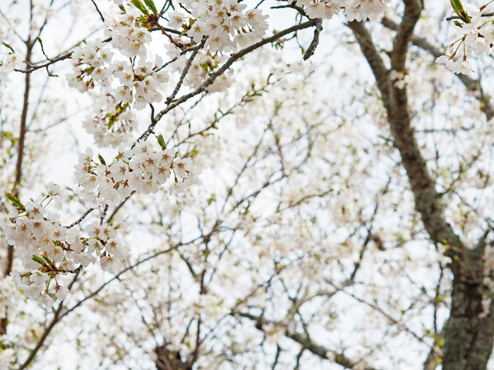 Cherry blossoms blooming beautifully (綺麗に咲いている桜) Ad Beautiful Cherry Blossoms Copy Space Daytime Green Nature Plant Black Color Brown Close-up Cute Flower Full Bloom Landscape Margin No Person Nobody Nose Pink Color Text Space White Yellow サクラ 妙見山
