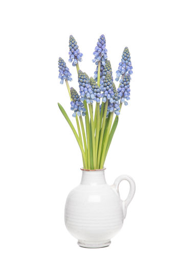 Bouquet of blue grape hyacints in a white vase isolated on a white background Blue Flowers Bouquet Flower Grape Hyacinths Nature Pottery Studio Shot Vase White White Background White Vase