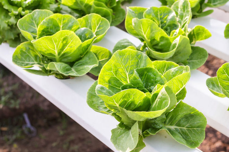 Organic green vegetables in hydroponics farm. Agriculture Business Farm Green Growth Nature Plant Background Close-up Day Environment Farming Food Fresh Freshness Fruits Garden Growth Health Healthy Hydroponics Infographic Leaf Nature No People Organic Plantation System Vegetables Water