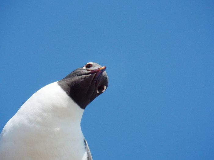 Low Angle View Of Black-Headed Gull Against Clear Blue Sky
