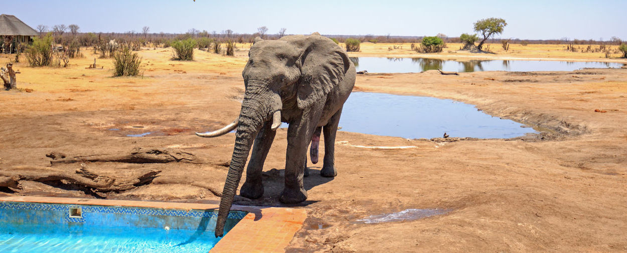 African elephant drinking from a camp swimming pool in Hwange National Park Animals In The Wild Animal Wildlife Safari Wildlife & Nature Hwange National Park Zimbabwe Southern Africa Travel Destinations Vacations Plains Savannah Outdoor Photography Mammal Wilderness Beauty In Nature Elephant Big Five Pachyderm Scenics - Nature Nehimba Swimming Pool Camping Lodge