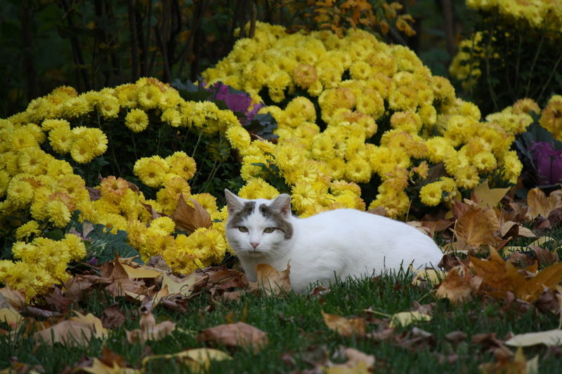 Cat Relaxing Animal Themes Cat Cat Outdoors Cat Relaxing  Flower White Cat White Cat Outdoor Yellow