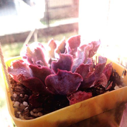 多肉 Succulents 晚霞之舞