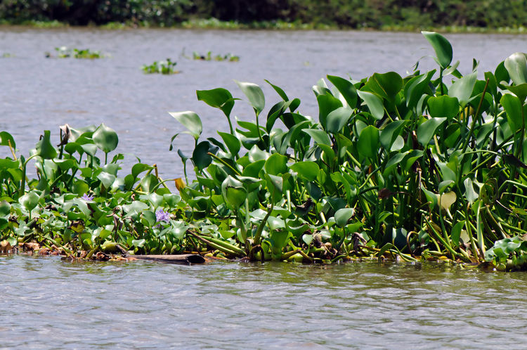 Common water hyacinth (Eichhornia crassipes) is invading Sierpe River in Costa Rica. Costa Rica Sierpe River Beauty In Nature Day Eichhornia Crassipes Flower Green Color Growth Hyacinth Invading Invasive Species Lake Leaf Nature No People Outdoors Pink Color Plant Water