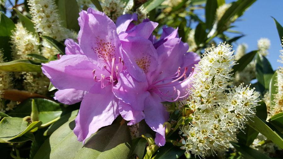 Taking Photos Enjoying Life Mai2016 Springtime Beauty In Nature Rhododendron Kirschlorbeer Blüten Und Himmel Braunschweig