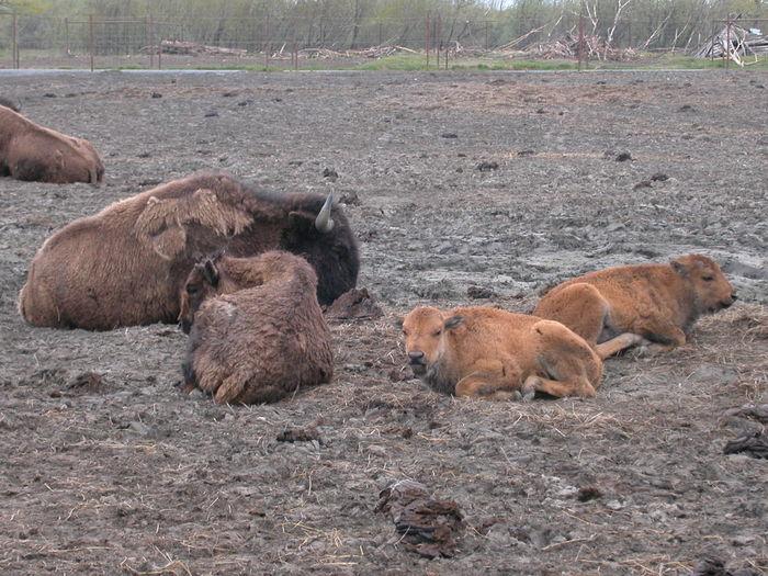 Alaska Animal Themes Buffalo Day Domestic Animals Livestock Mammal Mother Nature No People Outdoors Pig Piglet Togetherness Wild Boar Young Buffalo