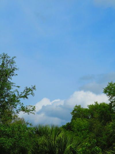 Tropical tree foliage and blue, stormy sky in Florida Florida Cloudy Blue Sky Tree Blue Forest Tree Area Sky Cloud - Sky Green Color Glade Treetop Tree Canopy  Dense