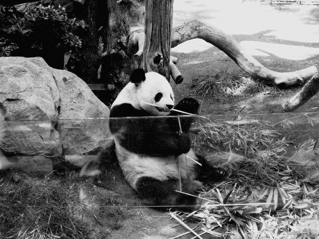 Water Animal Themes Animals In The Wild Day One Animal Outdoors Nature No People Animal Wildlife Bird Mammal Tree EyeEmNewHere FirstEyeEmPic Travel Destinations Pandas♥ PANDA ♡♡ Panda Animal Animal Photography
