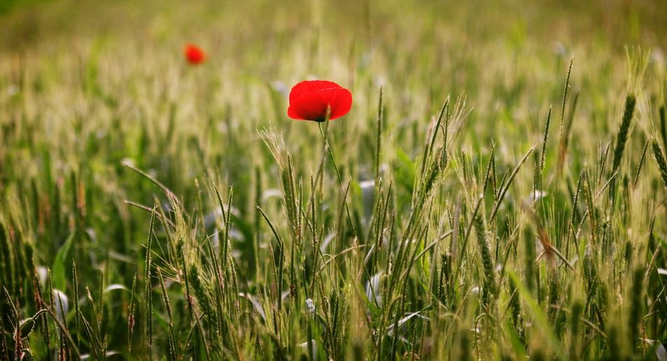 Wheat Field Outdoors Taking Photos Feeling Creative OpenEdit EyeEm Best Shots Freshness EyeEm Nature Lover Nature Flower Collection High Angle View Red Poppy Summer Close-up Blooming Wildflower In Bloom