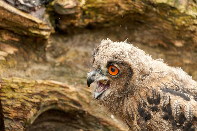 A detailed head of a six week old owl chick eagle owl. with orange eyes, stump in background