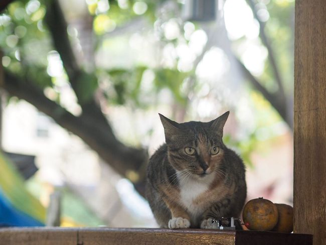 Fritz the CAT at Funky Dodo in Hopkins, Belize. Domestic Cat Domestic Animals Pets Looking At Camera One Animal Mammal Focus On Foreground Animal Themes Feline Portrait No People Day Close-up Outdoors