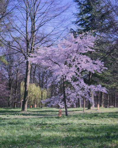 Tree Flower Branch Springtime Sky Grass Flower Tree Pink Spring Blossoming  Pure Vegetation Grassland In Bloom Blossom Greenery