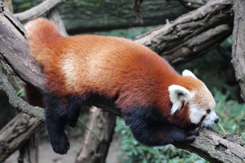 View Of Red Panda On Tree Trunk
